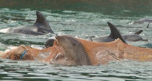 Taiji dolphin captures.  (Ric O'Barry's Dolphin Project photo)