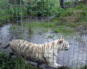 BCR tiger at pond by Beth