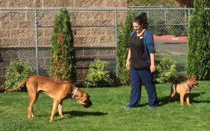 Compare the size of the Tosa (left) with that of the Jindo (right) in this Humane Society of Southwest Washington photo.