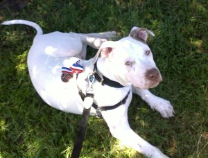 Honored on Pit Bull Awareness Day, Trooper was later euthanized due to dangerous behavior. (Beth Clifton photo)