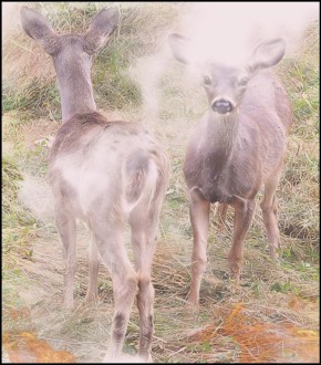 Two fawns near wildfire