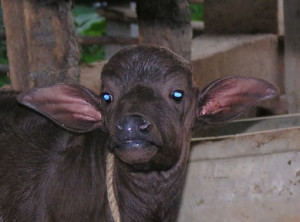 Buffalo calf rescued by the Visakha SPCA. (VSPCA photo)
