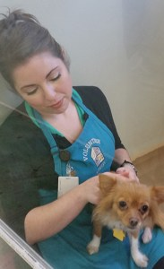 Oregon Humane Society volunteer socializing a Pomeranian mix recently received from California. (Beth Clifton photo)