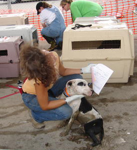 Volunteers crating pit bulls for transport after Hurricane Katrina in 2005.  (MC)
