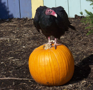 Vulture on pumpkin. (Halloweenwiki photo)