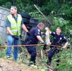 "WDTN photo of firefighters and police forming ""bucket brigade"" to pass piglets up out of the wreckage of the crashed truck."
