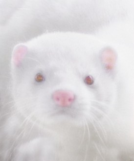 A collage of a white mink
