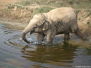 Wildlife SOS elephants don't drink coffee.  (Wildlife SOS photo)