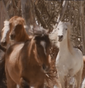 Brumbies. (YouTube image)