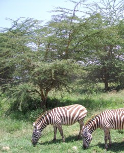 Zebras migrate along the same routes as wildebeest.  (MC)