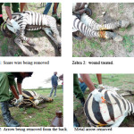 Zebra rescuers earn their stripes