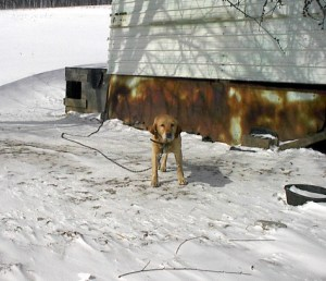 Aldus is another dog I rescued from a chain years ago; he was peeing blood in the snow, and no one seemed to even notice or care.