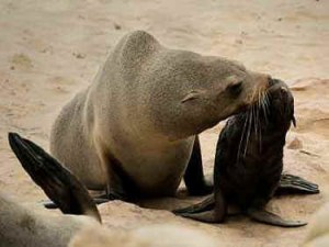 Namibian mother fur seal and pup. (All Creatures.org)