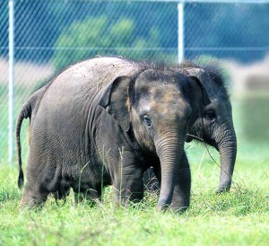 The Ringling image from Sri Lanka presents a very different notion of how baby elephants should live.