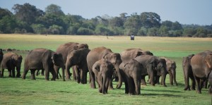 Elephant Transit Home herd in Sri Lanka. (Ringling Bros. and Barnum & Bailey Center for Elephant Conservation photo)