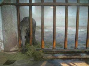 Baby elephant awaiting transport from Zimbabwe to China. (Zimbabwe Conservation Task Force photo)