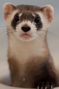 """Black-footed ferret.  (Black-footed Ferret Recovery Program photo) """"Having lived next door to an accomplished and ambitious ferret rescuer for several years,   I can testify from direct experience with many ferrets that I never met a ferret,  wild or allegedly domesticated,  whom I did not like.  But I never met a ferret,  either,  who belonged in captivity,  least of all as a """"pocket pet.""""  And the ferret rescuer,  long deceased,  was of the same opinion."""" ––Merritt Clifton"""