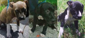 The other three pit bulls seized from the Dade home. (Miami-Dade Animal Services)