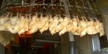 Poultry slaughter line. (Mercy for Animals photo)