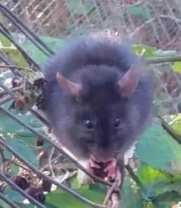 Beth's rat