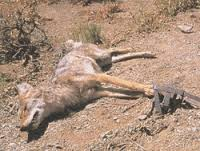 Coyote in leghold trap.  (Animal Welfare Institute photo)