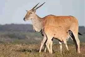 Cape Eland.  (Kruger National Park,  South Africa)