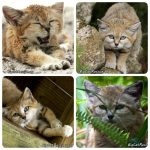 Genie,  the Big Cat Rescue sand cat