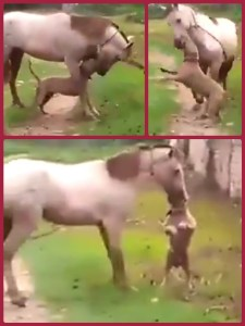 Pit bull attacking horse. (From YouTube video.)