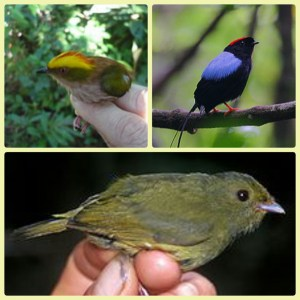 Three mannakin species. (Wikipedia photos)