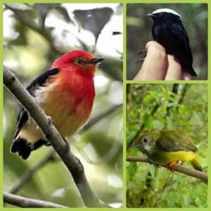 Three more mannakin species. (Wikipedia photos)