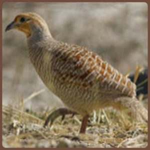 Francolin. (Wikipedia photo)