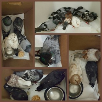Some of the wounded pigeons rescued by SHARK. (SHARK photo)