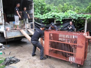 June 2015 bear farm closure by the Animals Asia Foundation. (AAF photo)