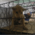 Dog meat trade spreads rabies in Vietnam