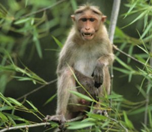 Macaque.  (CDC photo)