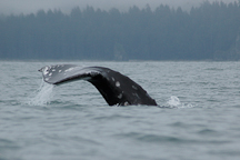 Gray whale diving. (Alaska Fisheries Science Center photo)