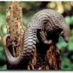 U.S. consumer demand helps push pangolins toward extinction