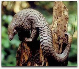 (From www.savepangolins.org)