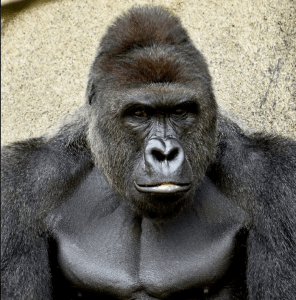 Harambe. (Cincinnati Zoo photo)