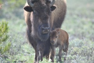 Bison mother & calf. (Stephany Seay/Buffalo Field Campaign photo)