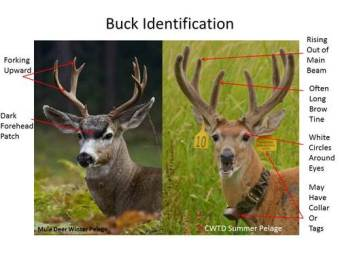 Note the size of the ear-tags and radio collar on this Columbian whitetailed buck (right), shown with a blacktail buck in a posting meant to educate hunters against shooting the wrong species. (USFWS photo)