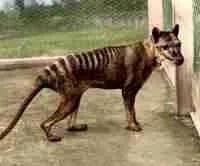 The last thylacine died at the Beaumaris Zoo in Hobart, Australia, in 1936.