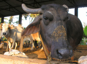 Rescued buffalo bull. (Visakha SPCA photo)