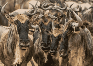 Image result for wildebeest