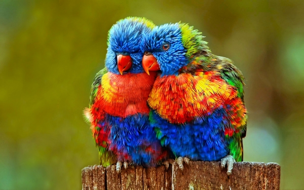 True Meaning Of Lovebirds 12 Pictures Animal S Look