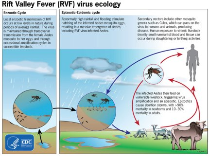 Rift Valley Fever life cycle