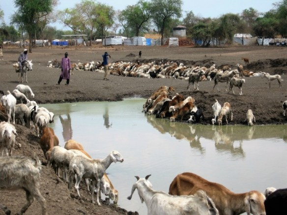 Goats at water hole, South Sudan Charles Hoots