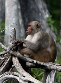 Rhesus macaque on Florida's Silver River