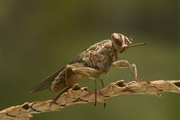 A tsetse fly (Glossina spp.) IAEA