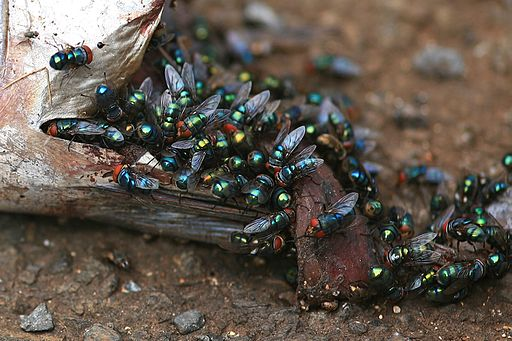 A typical scene of various blow fly species that quickly collect on a carcass. While similar in size and metallic tint and color to the New World Screwworm blow fly, the latter would not lay eggs on a dead animal, though the female fly in particular may visit for a meal. Blow flies are commonly used in forensics to determine time of death of a corpse. Laszlo Ilyes
